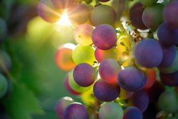 Grapes - Vineyard