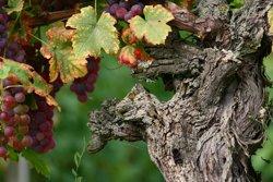 Alsace Wine Grapes